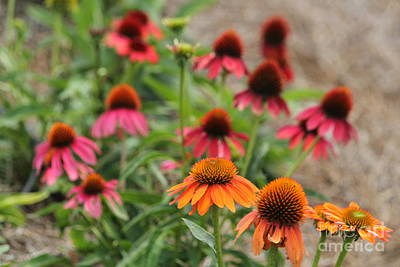Photograph - Coneflowers by Theresa Willingham