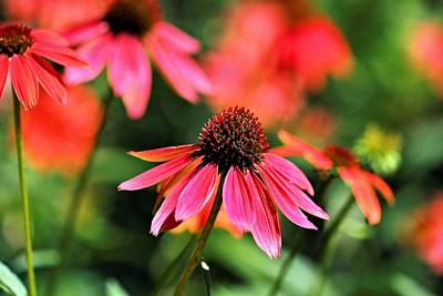 Photograph - Coneflowers Two by Katherine White