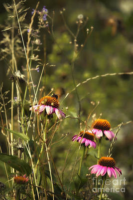 Photograph - Coneflowers Weeds And Bee by Belinda Greb