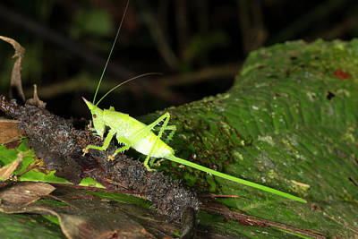 Conehead Katydid With Long Ovopositor Print by Dr Morley Read