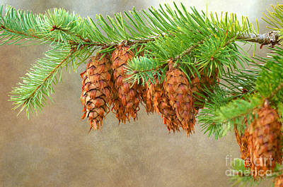 Photograph - Cones 2 by Sharon Talson