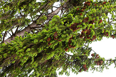 Burgeon Photograph - Spruce Fresh Shoots And Brown Cones Sag  by Arletta Cwalina