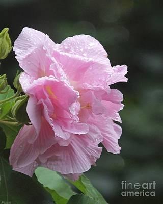 Photograph - Confederate Rose by Lizi Beard-Ward