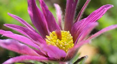 David Jones Photograph - Conflower Bloom by David  Jones