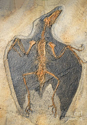 Photograph - Confuciusornis Fossil by Millard H Sharp