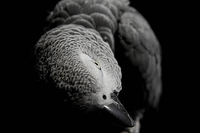 Photograph - Congo African Grey 1 by Paulina Szajek
