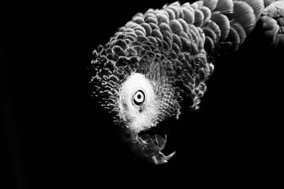 Photograph - Congo African Grey 6 by Paulina Szajek
