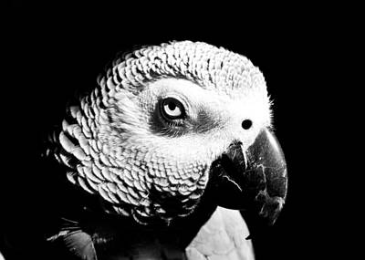 Photograph - Congo African Grey Head Shot by Paulina Szajek