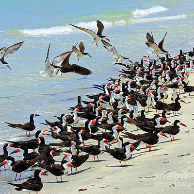 Flock Of Bird Photograph - Congregating Skimmers by Carol Groenen