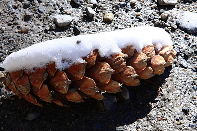 Photograph - Pine Cone by Aidan Moran