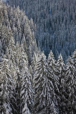Conifer Forest In Fresh Snow In Kiental Art Print