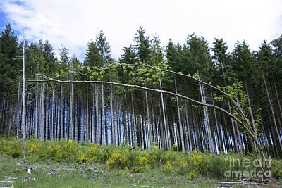 Fir Trees Photograph - Coniferous Forest by Bernard Jaubert