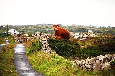 Photograph - Connemara Cow by Charlie and Norma Brock