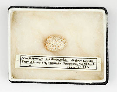 Conopophila Albogularis Egg Art Print by Natural History Museum, London