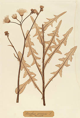Dried Drawing - Constetin Von Ettinghausen And Alois Pokorny Austrian by Quint Lox