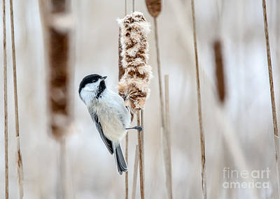 Photograph - Contemplating Chickadee by Cheryl Baxter