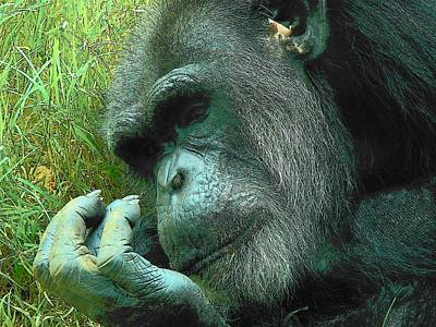 Art Print featuring the photograph Contemplative Chimp by Rodney Lee Williams