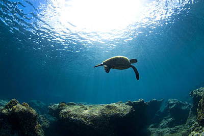 Ocean Turtle Photograph - Contemplation by Sean Davey