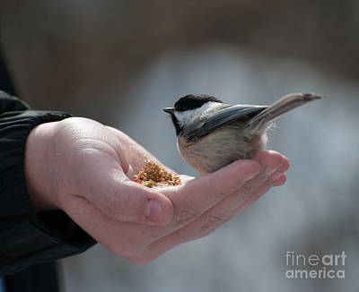 Photograph - Content Chickadee by Bianca Nadeau