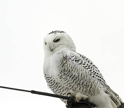 Telephone Poles Photograph - Content Snowy Owl  by Thomas Young