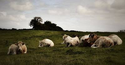 Photograph - Contented Cows Of County Clare by Nadalyn Larsen