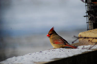 Photograph - Contented Female Cardinal by Wanda Jesfield