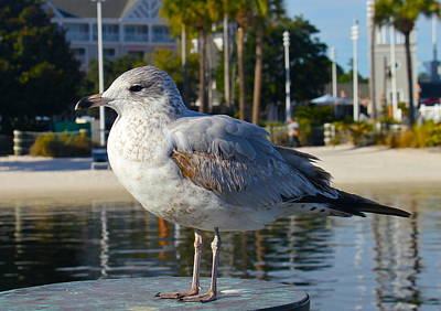 Photograph - Contented Gull by Denise Mazzocco