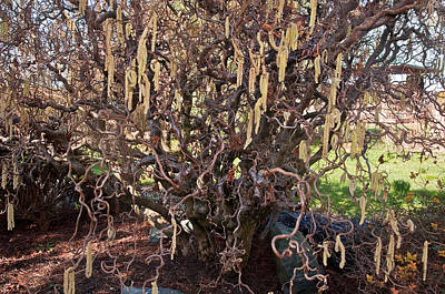 Photograph - Contorted Filbert Tree by Valerie Garner