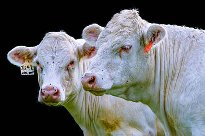 Contrast Cows Art Print