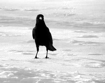 American Crow Photograph - Contrast by Gothicrow Images
