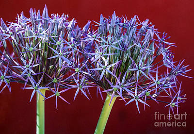 Art Print featuring the photograph Flowering Onions by Roselynne Broussard
