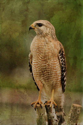 Red Shouldered Hawk Photograph - Convenience Store Hawk by Deborah Benoit