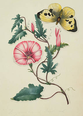 Convolvulus With Yellow Butterfly Art Print