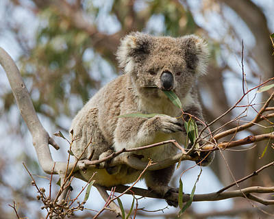 Photograph - Cool Koala by Phil Stone