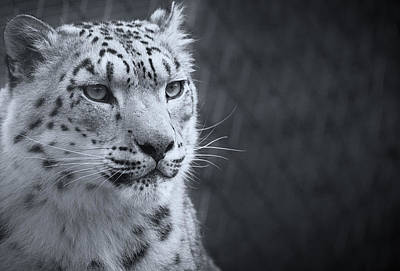 Photograph - Cool Leopard by Chris Boulton