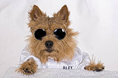 Photograph - Cool Norwich Terrier In Glasses by Susan Stone