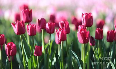 Tulips Photograph - Cool Tulips by Carol Groenen