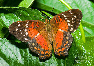 Coolie Butterfly Print by Millard H. Sharp