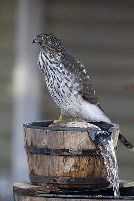 Photograph - Cooper's Hawk - Immature - 0011 by S and S Photo