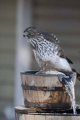 Photograph - Cooper's Hawk - Immature - 0012 by S and S Photo