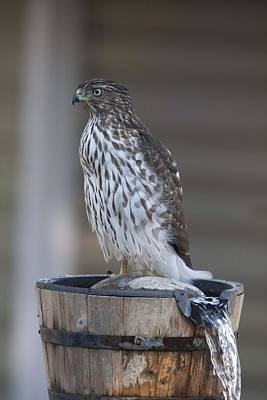 Photograph - Cooper's Hawk - Immature - 0013 by S and S Photo
