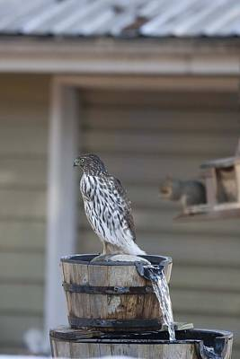 Photograph - Cooper's Hawk - Immature - 0014 by S and S Photo