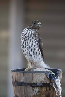 Photograph - Cooper's Hawk - Immature - 0016 by S and S Photo