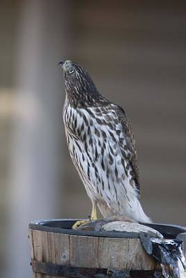 Photograph - Cooper's Hawk - Immature - 0017 by S and S Photo