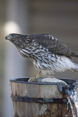 Photograph - Cooper's Hawk - Immature - 0018 by S and S Photo
