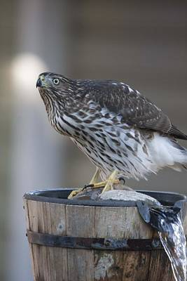 Photograph - Cooper's Hawk - Immature - 0019 by S and S Photo