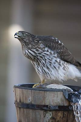Photograph - Cooper's Hawk - Immature - 0020 by S and S Photo