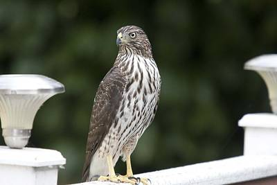 Photograph - Cooper's Hawk - Immature - 0021 by S and S Photo