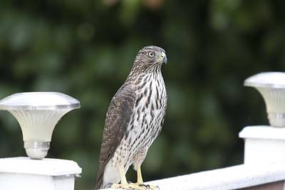 Photograph - Cooper's Hawk - Immature - 0022 by S and S Photo