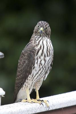 Photograph - Cooper's Hawk - Immature - 0023 by S and S Photo